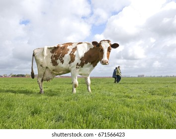 A slender Dutch cow standing in a field staring at the camera. While two people walk across the field in the background.