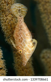Slender Filefish (Monacanthus tuckeri) hidng in a gorgonian - Bonaire