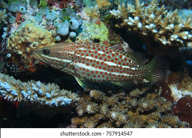 Slender grouper fish (Anyperodon leucogrammicus) in the tropical coral reef of the Maldives