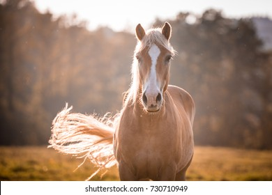 Slender haflinger horse with white blaze on nose, swinging its tail during sun day. Blurred forest, blue sky and green grass field.
