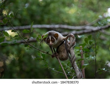 Slender loris is a very rare smallest primate in sri lanka
