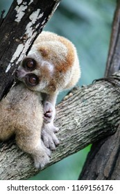 Slender lorises are a genus of loris native to India and Sri Lanka. The slender loris spends most of its life in trees, traveling along the top of branches with slow and precise movements.