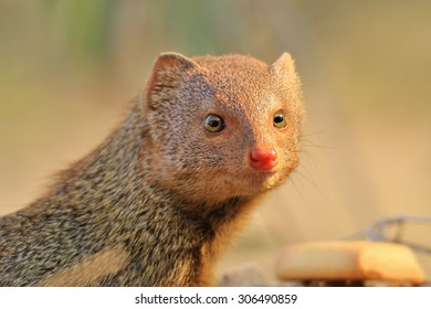Slender Mongoose - African Wild Scavenger Background - Cute Small Rodents