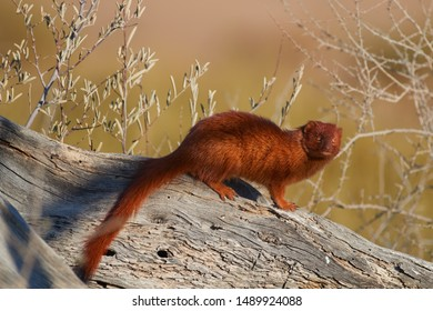Slender Mongoose, Galerella sanguinea, reddish coloured small  african carnivore sitting on dead acacia trunk against red sand dunes of Kgalagadi Transfrontier Park, Botswana. Desert animals photo
