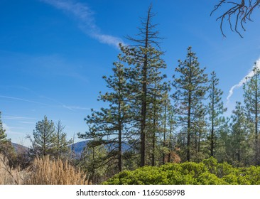 Slender Pine trees stand along the side of a ridge in California hills.