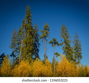 slender pines and spruces over young yellow birches