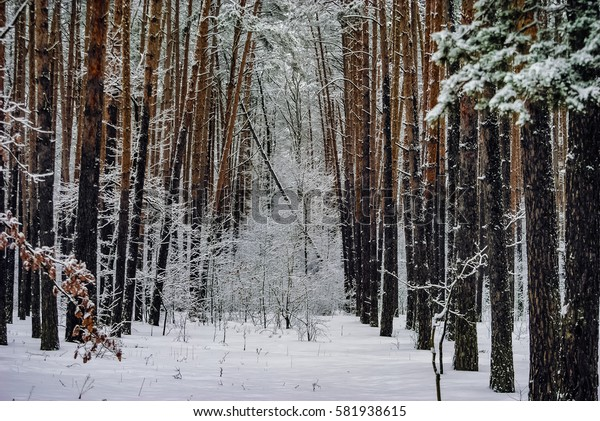 Slender pines stand in neat rows in the winter, snow-covered forest.