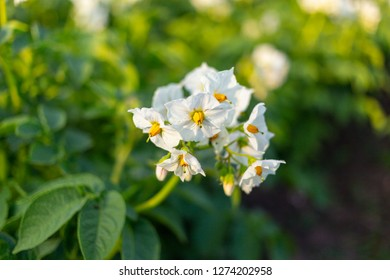 Slender potato blossoms