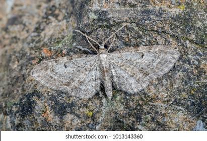Slender Pug moth ( Eupithecia tenuiata ) in the family Geometridae. Sitting on a rock.