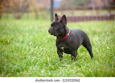 Slender purebred French bulldog in the park