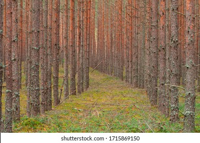 Slender rows of trees. Growing trees planted by man. Pine forest, beautiful rows.