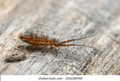 Slender springtail, Orchesella flavescens on wood