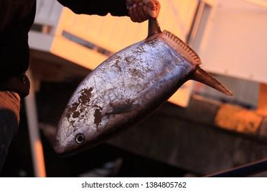 slender sunfish, Ranzania laevis, caught in Simon's Town, Cape Town, False Bay, South Africa, Atlantic Ocean