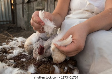 Slender woman, peasant woman in white apron, plucked feathers of chicken to cooking it for food in background of sheds.