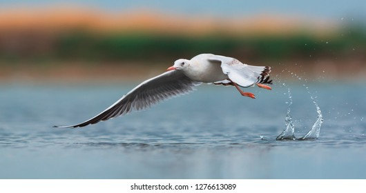 The slender-billed gull (Chroicocephalus genei) is a mid-sized gull.