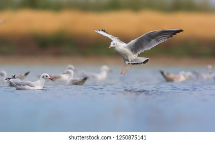 Slender-billed gull in flight. Chroicocephalus genei