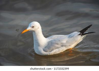 Slender-billed Gull in nature