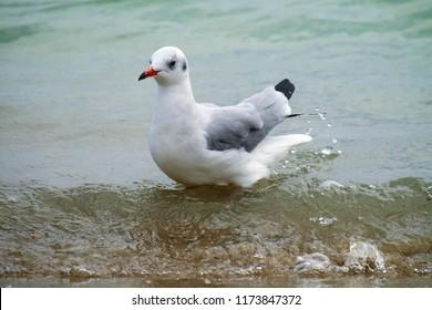 Slender-billed gull stands in the water on the beach (Chroicocephalus genei)