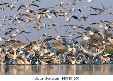 Slender-billed gulls and Black-headed gulls. Photo was taken in Ukraine