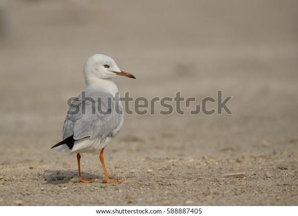 The slender-billed seagull