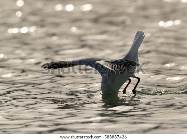 The slender-billed seagull diving in water
