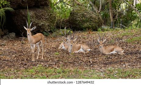 Slender-horned gazelle - Gazella leptoceros