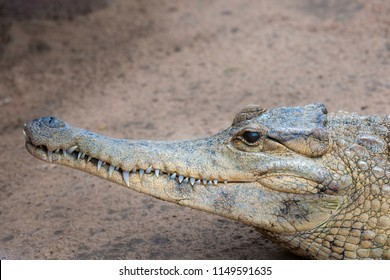 Slender-snouted crocodile (Mecistops cataphractus) from freshwater habitats in central and western Africa