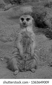 A Slender-Tailed Meerkat (Suricata Suricatta) on the Lookout for Danger