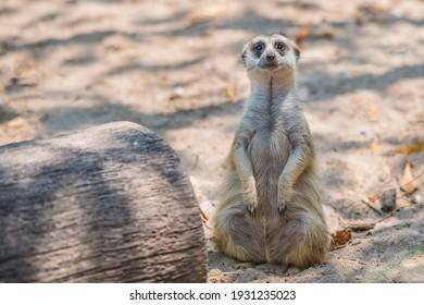 Slender-tailed Meerkat in the zoo.