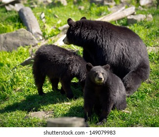 A sleuth, or group, of three American black bears (Ursus americanus), a mother bear and two of her cubs, sit in a rocky field.