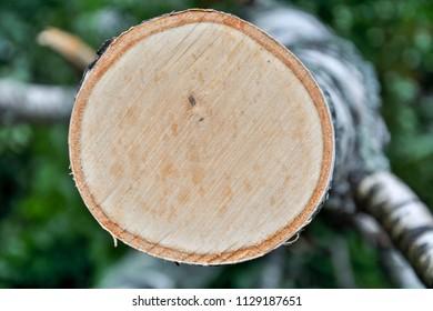 Slice of a birch tree