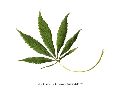 Slightly dried cannabis leaf with white spots on a white background. close-up.