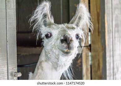 Slightly goofy-looking llama recently shorn, closeup