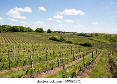 The slightly hilly scenery of vineyards in France