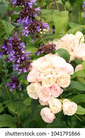 Slightly pinkcolor flower Bouquet Parfait. Flower musk rose details with nepeta  kubanica in rustic, home graden. Bee friendly garden.