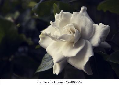 Slightly toned image of Gardenia flower