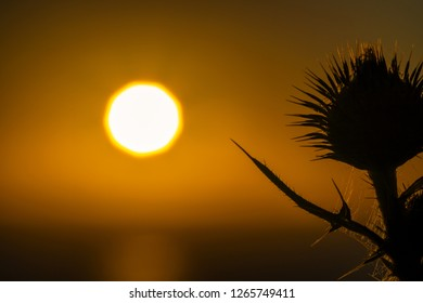 A Slihoutte of a Spear Thistle/bull thistle/ common thistle. Nonagon/nine sided looking sun. morning sunrise reflected on ocean as a background. Orange background