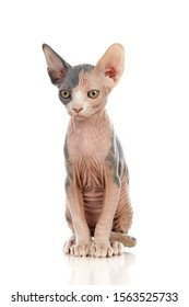 "Slim cat without hair ""sphinx cat"" isolated on a white background"