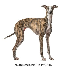 Slim Galgo dog standing, isolated on white