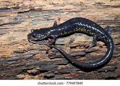 Slimy Salamander (Plethodon glutinosus) at Monte Sano State Park, Alabama