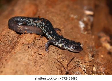 Slimy Salamander (Plethodon glutinosus) at Monte Sano State Park Alabama