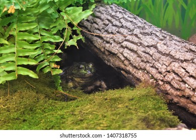 Slimy Toad Hiding Under Foliage