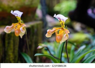 ืLady's slipper, lady slipper or slipper orchid Paphiopedilum, Callus Paphiopedilum at Inthanon. The slipper-shaped lip of the flower serves as a trap for pollinating insects to fertilize the flower.