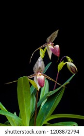 Slipper lady orchid species Paphiopedilum rothschildianum
