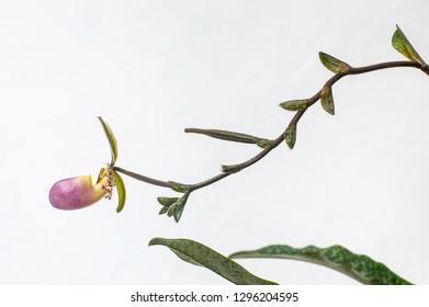 Slipper lady orchids Paphiopedillum dodyanum