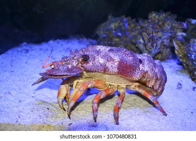 Slipper lobster living in reserved nature