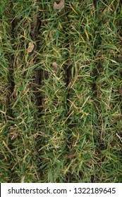 Slits in fescue lawn turf from power slice/slit seeder