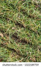 Slits in fescue lawn turn from power slit/slice seeder