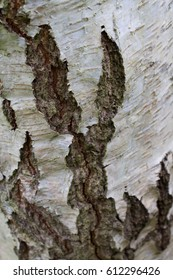 Sliver Birch Bark