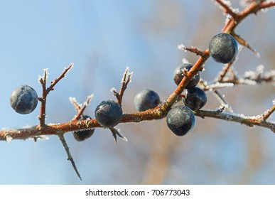 sloe berries at a blackthorn twig with hoarfrost, soft blue sky